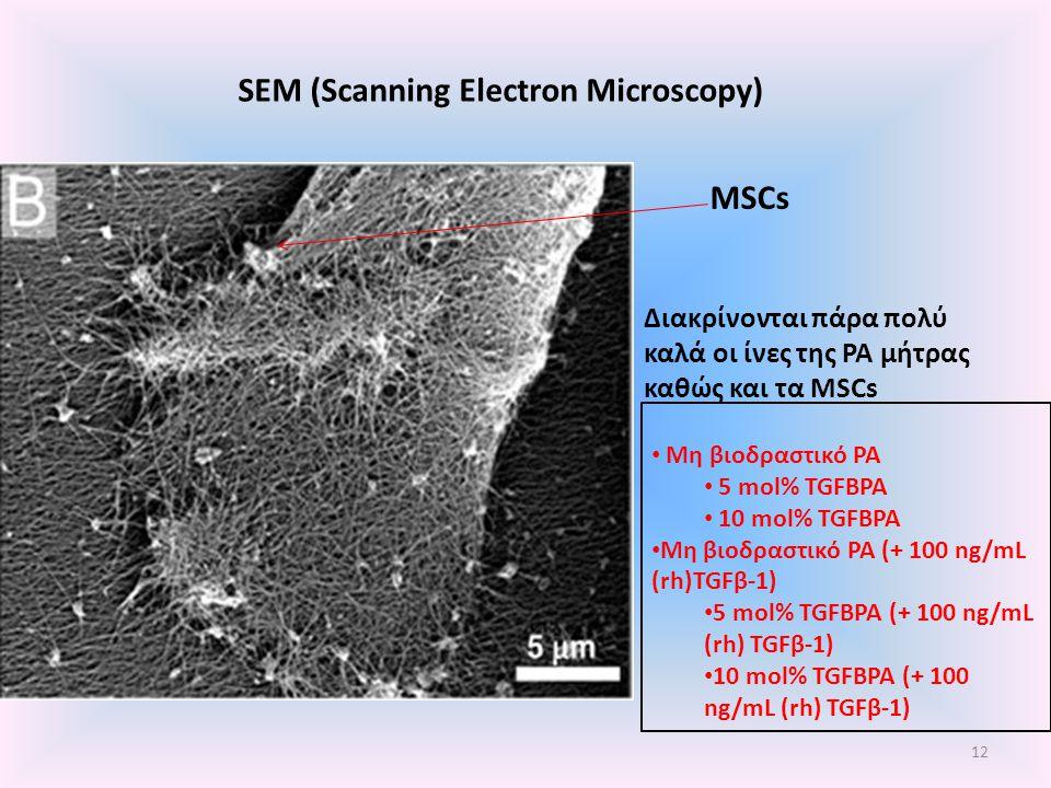 SEM (Scanning Electron Microscopy) MSCs Διακρίνονται πάρα πολύ καλά οι ίνες της ΡΑ μήτρας καθώς και τα MSCs 12 Μη βιοδραστικό ΡΑ 5 mol% TGFBPA 10 mol%