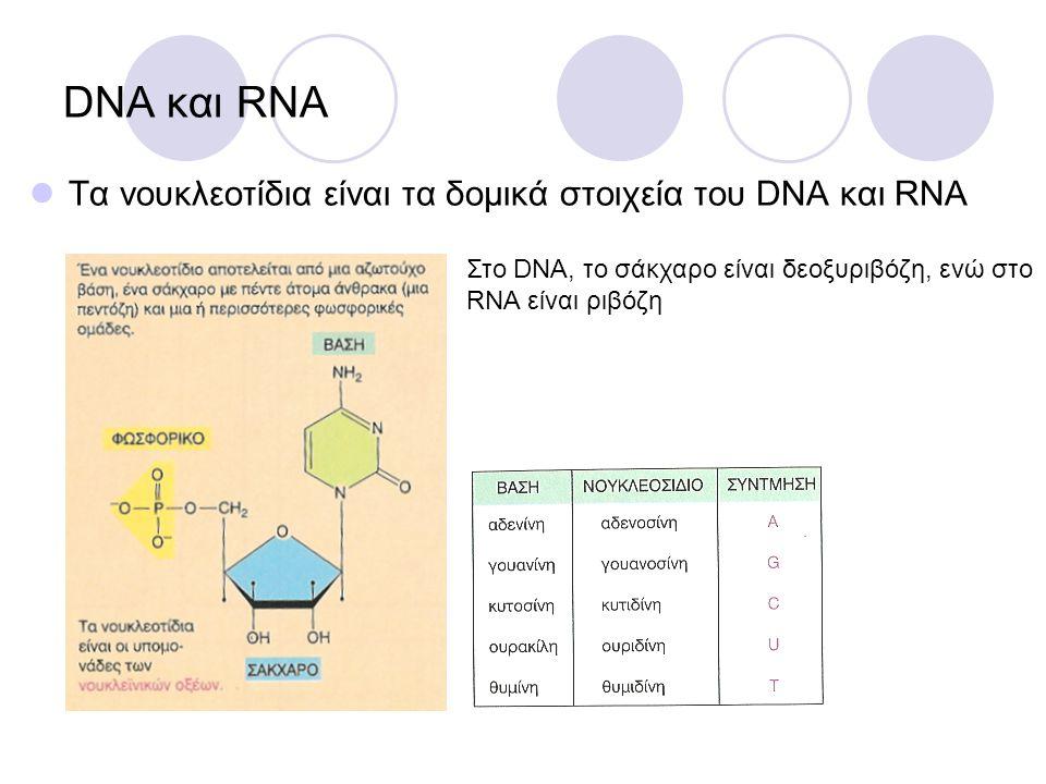 DNA και RNA Τα νουκλεοτίδια είναι τα δομικά στοιχεία του DNA και RNA Στο DNA, το σάκχαρο είναι δεοξυριβόζη, ενώ στο RNA είναι ριβόζη