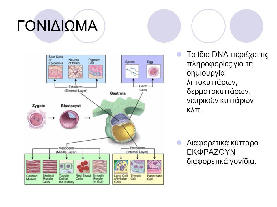 ΓΟΝΙΔΙΩΜΑ Το ίδιο DNA περιέχει τις πληροφορίες για τη δημιουργία λιποκυττάρων, δερματοκυττάρων, νευρικών κυττάρων κλπ. Διαφορετικά κύτταρα ΕΚΦΡΑΖΟΥΝ δ