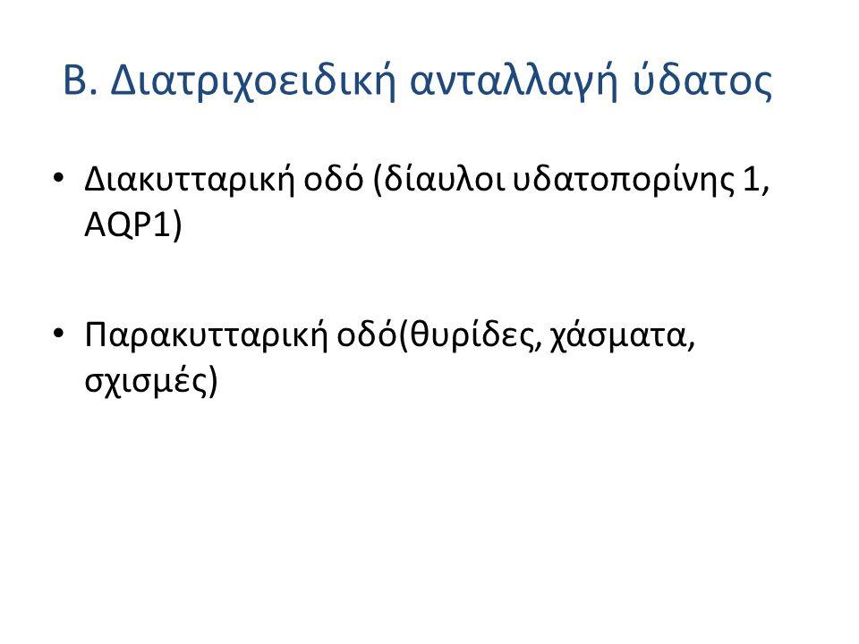 Β. Διατριχοειδική ανταλλαγή ύδατος Διακυτταρική οδό (δίαυλοι υδατοπορίνης 1, ΑQP1) Παρακυτταρική οδό(θυρίδες, χάσματα, σχισμές)