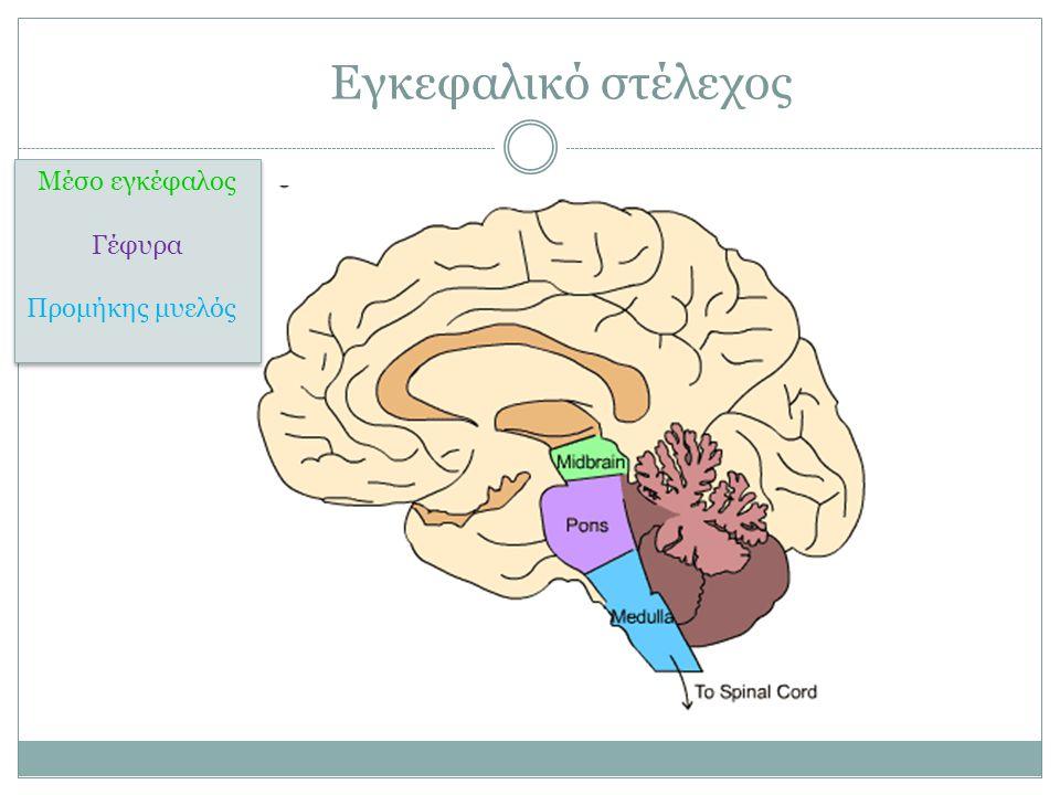 Εγκεφαλικό στέλεχος Μέσο εγκέφαλος Γέφυρα Προμήκης μυελός Μέσο εγκέφαλος Γέφυρα Προμήκης μυελός
