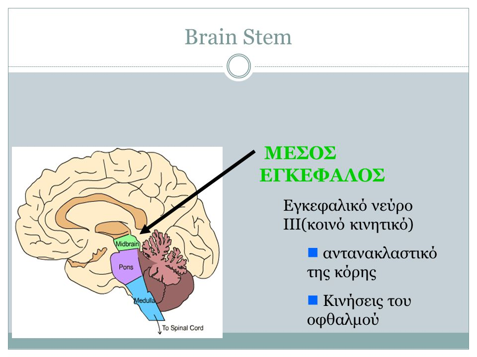 Brain Stem ΜΕΣΟΣ ΕΓΚΕΦΑΛΟΣ Εγκεφαλικό νεύρο III(κοινό κινητικό) αντανακλαστικό της κόρης Κινήσεις του οφθαλμού