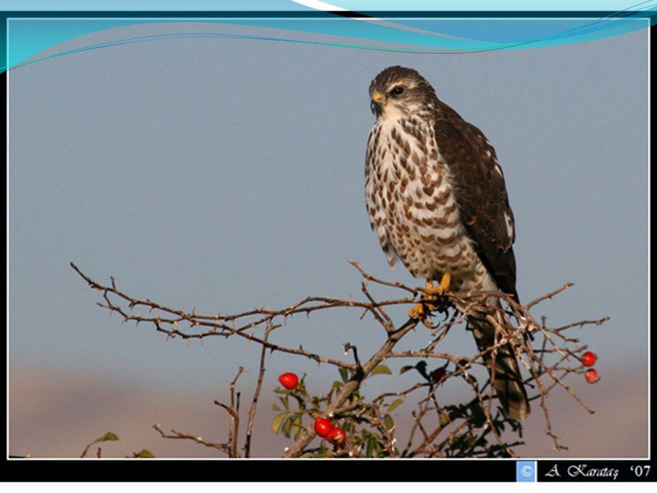 Falco eleonorae Βιότοποι : θάλασσα και παράλια, θαμνώνες, βραχότοποι, δάση.