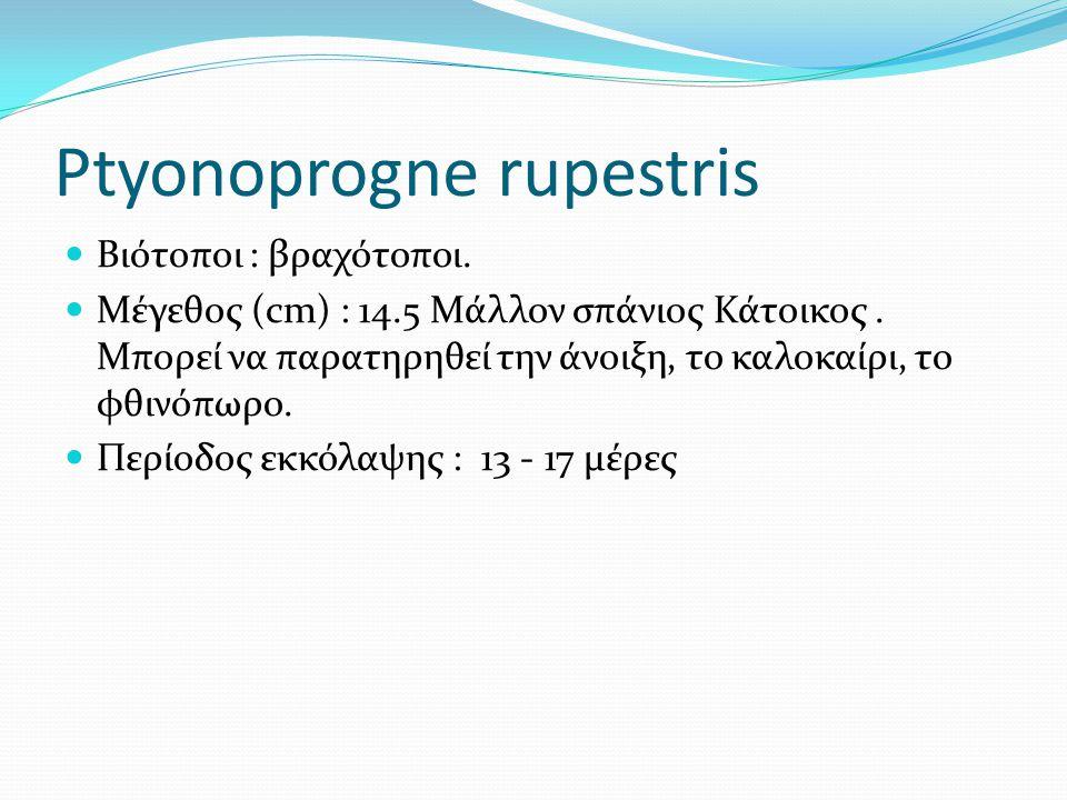 Ptyonoprogne rupestris Βιότοποι : βραχότοποι. Μέγεθος (cm) : 14.5 Μάλλον σπάνιος Κάτοικος.