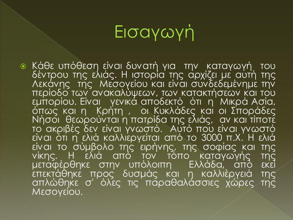  H καλλιεργούμενη ελιά ανήκει στην οικογένεια Oleaceae και το βοτανικό της όνομα είναι Olea sativa euromediterranea.