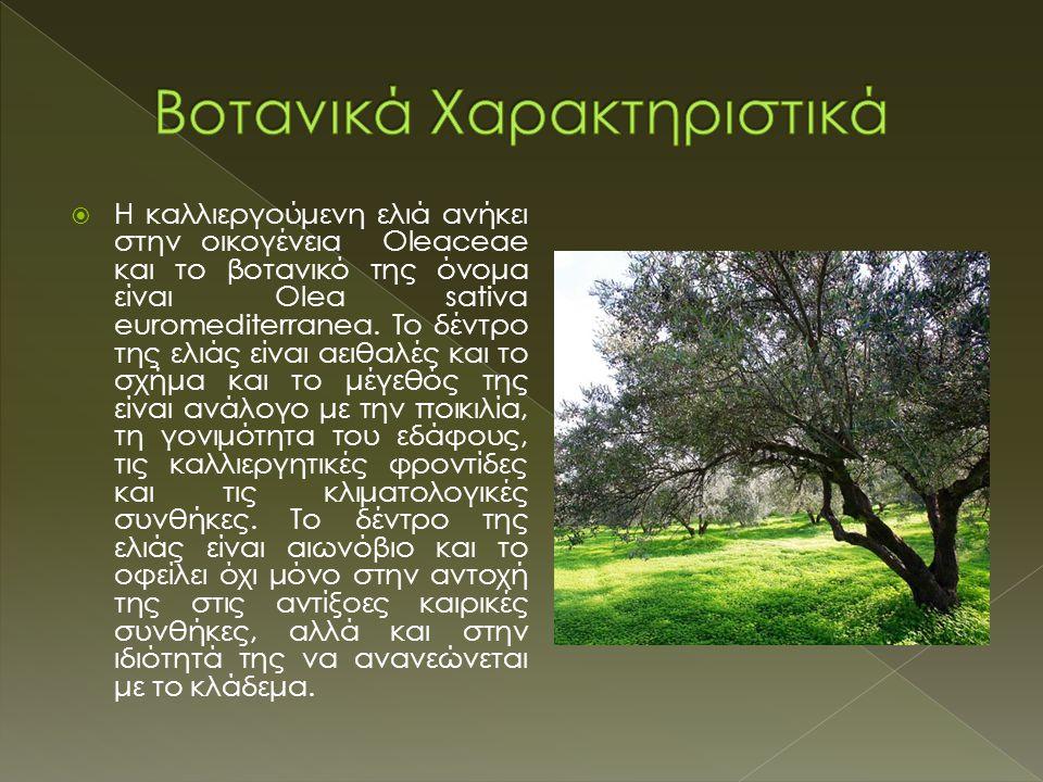  H καλλιεργούμενη ελιά ανήκει στην οικογένεια Oleaceae και το βοτανικό της όνομα είναι Olea sativa euromediterranea. Tο δέντρο της ελιάς είναι αειθαλ