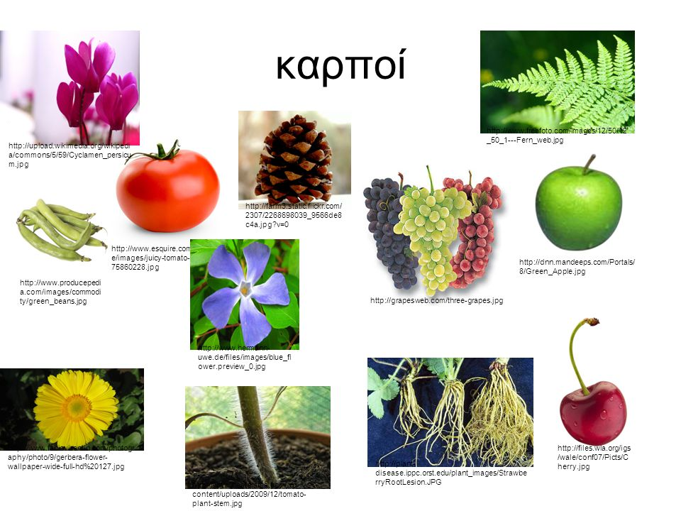καρποί http://grapesweb.com/three-grapes.jpg http://www.esquire.com/cm/esquir e/images/juicy-tomato-0509-lg- 75860228.jpg http://www.fabiovisentin.com/photogr aphy/photo/9/gerbera-flower- wallpaper-wide-full-hd%20127.jpg http://dnn.mandeeps.com/Portals/ 8/Green_Apple.jpg http://upload.wikimedia.org/wikipedi a/commons/5/59/Cyclamen_persicu m.jpg http://farm3.static.flickr.com/ 2307/2268698039_9566de8 c4a.jpg?v=0 http://www.freefoto.com/images/12/50/12 _50_1---Fern_web.jpg http://www.producepedi a.com/images/commodi ty/green_beans.jpg http://plant- disease.ippc.orst.edu/plant_images/Strawbe rryRootLesion.JPG http://www.hermann- uwe.de/files/images/blue_fl ower.preview_0.jpg http://files.wla.org/igs /wale/conf07/Picts/C herry.jpg http://www.neatorama.com/wp- content/uploads/2009/12/tomato- plant-stem.jpg