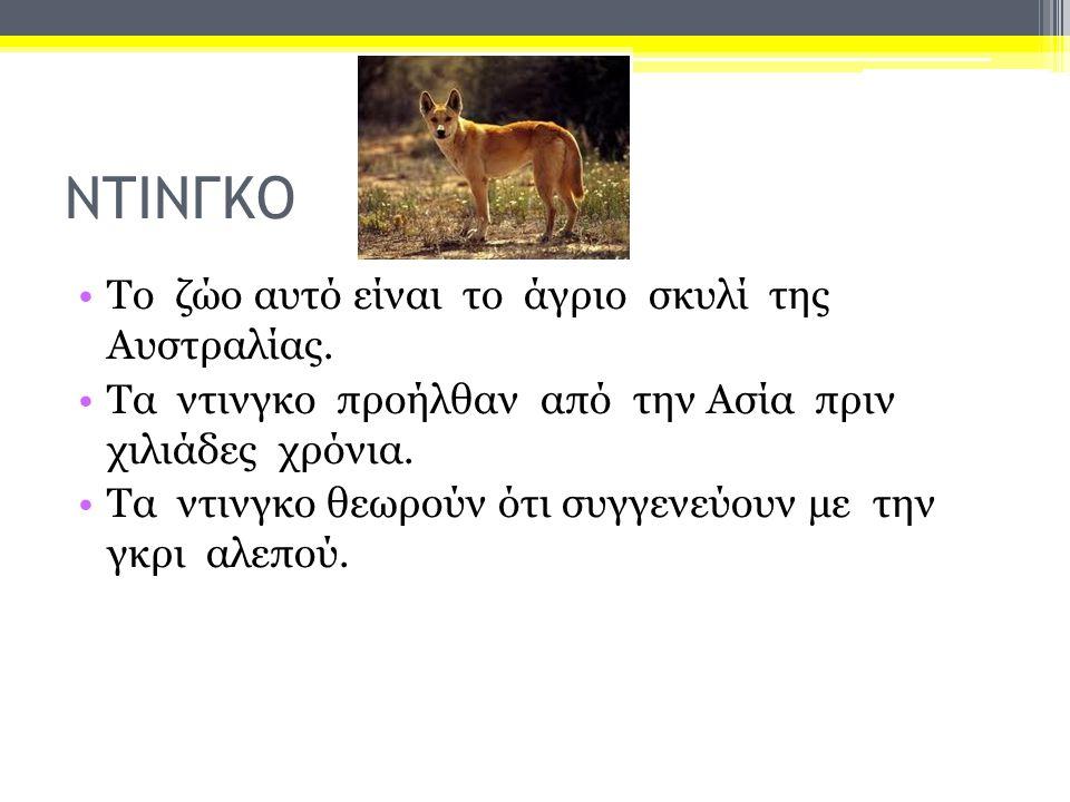 ΝΤΙΝΓΚΟ Το ζώο αυτό είναι το άγριο σκυλί της Αυστραλίας. Τα ντινγκο προήλθαν από την Ασία πριν χιλιάδες χρόνια. Τα ντινγκο θεωρούν ότι συγγενεύουν με