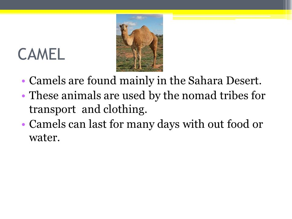 CAMEL Camels are found mainly in the Sahara Desert. These animals are used by the nomad tribes for transport and clothing. Camels can last for many da