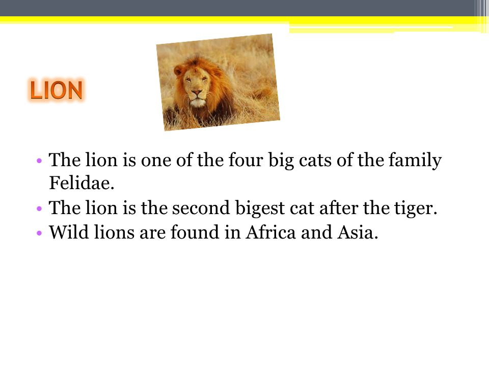 The lion is one of the four big cats of the family Felidae. The lion is the second bigest cat after the tiger. Wild lions are found in Africa and Asia