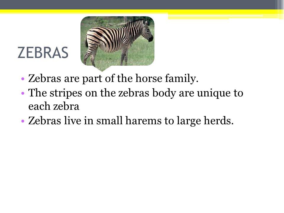 Πάνθηρας Ο πάνθηρας ανήκει στο είδος των αιλουροειδών όπως τα λιοντάρια,τίγρης και λεοπάρδαλη.