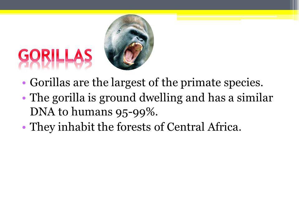 Οι γορίλες είναι οι μεγαλύτεροι από τα πρωτεύοντα είδη.