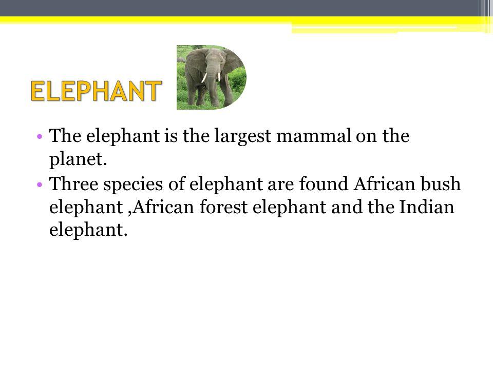 Ο ελέφαντας είναι το μεγαλύτερο θηλαστικό στον κόσμο.