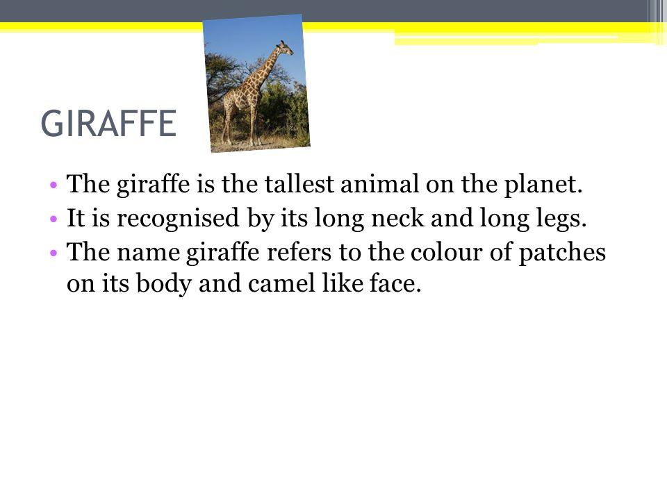 Καμηλοπάρδαλη Οι καμηλοπάρδαλη είναι το ψηλότερο ζώο στον πλανήτη.