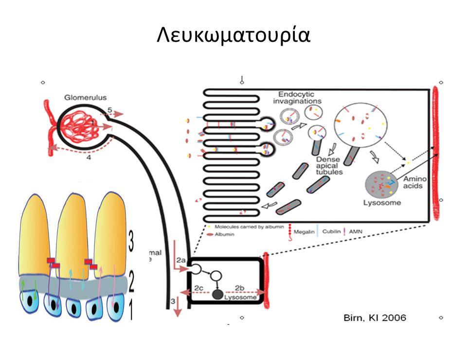 Διήθηση Επαναρρόφηση Αποβολή Έκκριση Λευκωματουρία < 150 mg πρωτεΐνης /24ωρο αλβουμίνη (65000 Da): 20–40 % ανοσοσφαιρίνες (20000 Da): 20%, β 2 -μικροσφαιρίνη πρωτεΐνη Tamm Horsfall