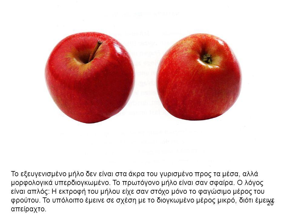 20 Το εξευγενισμένο μήλο δεν είναι στα άκρα του γυρισμένο προς τα μέσα, αλλά μορφολογικά υπερδιογκωμένο.