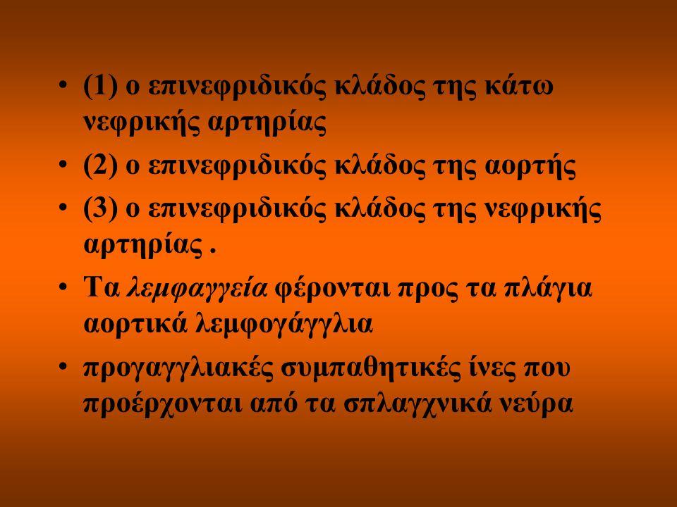 (1) ο επινεφριδικός κλάδος της κάτω νεφρικής αρτηρίας (2) ο επινεφριδικός κλάδος της αορτής (3) ο επινεφριδικός κλάδος της νεφρικής αρτηρίας. Τα λεμφα