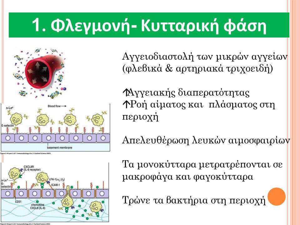 1. Φλεγμονή - Κυτταρική φάση Αγγειοδιαστολή των μικρών αγγείων (φλεβικά & αρτηριακά τριχοειδή)  Αγγειακής διαπερατότητας  Ροή αίματος και πλάσματος