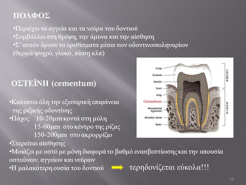 10 ΠΟΛΦΟΣ Περιέχει τα αγγεία και τα νεύρα του δοντιού Συμβάλλει στη θρέψη, την άμυνα και την αίσθηση Σ ' αυτόν δρουν τα ερεθίσματα μέσω των οδοντινοσωληναρίων ( θερμό / ψυχρό, γλυκό, πίεση κλπ ) ΟΣΤΕΪΝΗ (cementum) Καλύπτει όλη την εξωτερική επιφάνεια της ριζικής οδοντίνης Πάχος 10-20 μ m κοντά στη μύλη 15-60 μ m στο κέντρο της ρίζας 150-200 μ m στο ακρορρίζιο Στερείται αίσθησης Μοιάζει με οστό με μόνη διαφορά το βαθμό ενασβεστίωσης και την απουσία οστεώνων, αγγείων και νεύρων Η μαλακότερη ουσία του δοντιού τερηδονίζεται εύκολα !!!