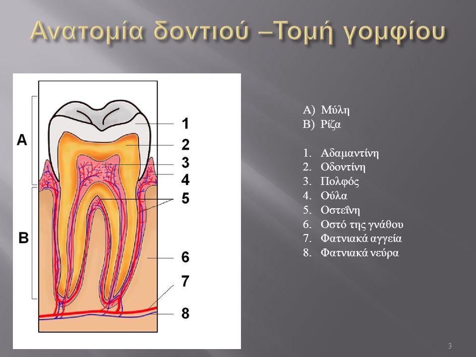3 Α ) Μύλη Β ) Ρίζα 1.Αδαμαντίνη 2.Οδοντίνη 3.Πολφός 4.Ούλα 5.Οστεΐνη 6.Οστό της γνάθου 7.Φατνιακά αγγεία 8.Φατνιακά νεύρα