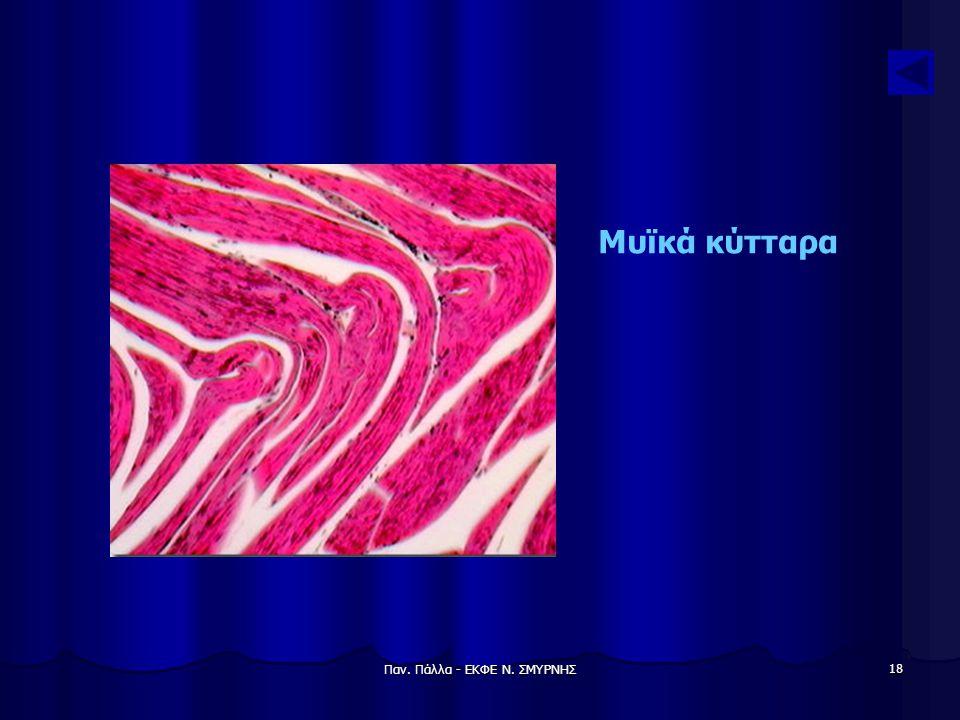 Παν. Πάλλα - ΕΚΦΕ Ν. ΣΜΥΡΝΗΣ 18 Μυϊκά κύτταρα