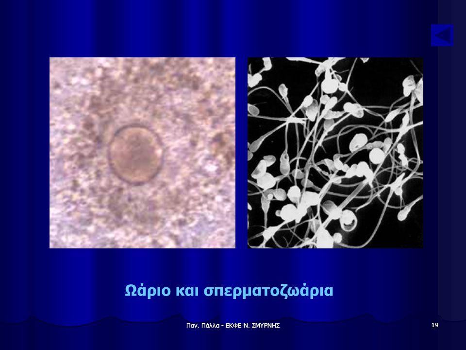 Παν. Πάλλα - ΕΚΦΕ Ν. ΣΜΥΡΝΗΣ 19 Ωάριο και σπερματοζωάρια