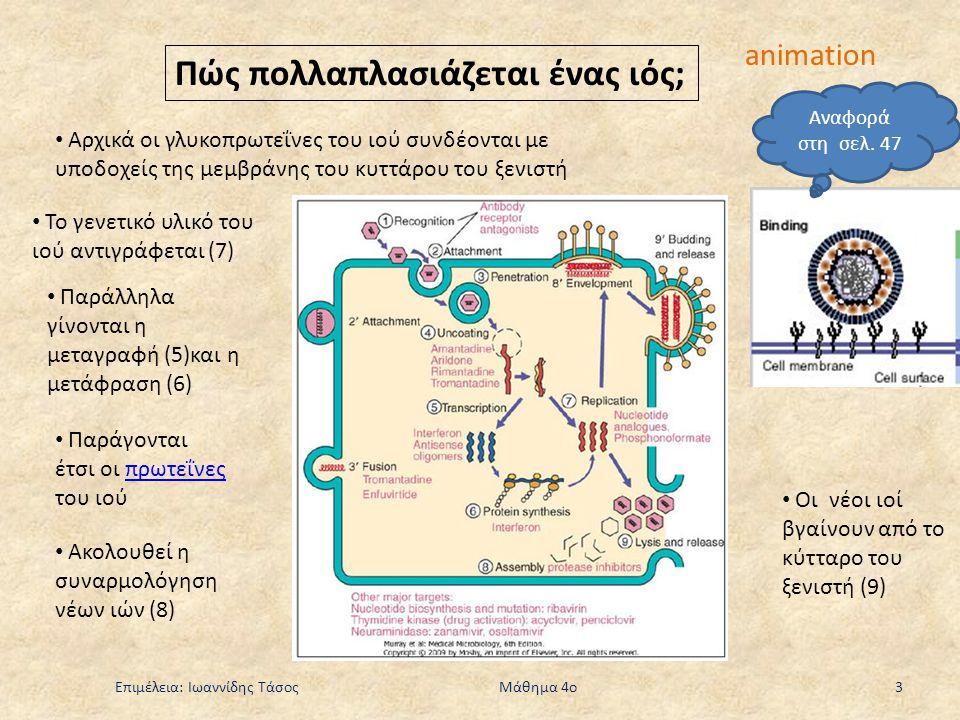Επιμέλεια: Ιωαννίδης Τάσος Μάθημα 4ο 3 Πώς πολλαπλασιάζεται ένας ιός; animation Αρχικά οι γλυκοπρωτεΐνες του ιού συνδέονται με υποδοχείς της μεμβράνης