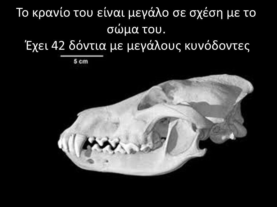 Το κρανίο του είναι μεγάλο σε σχέση με το σώμα του. Έχει 42 δόντια με μεγάλους κυνόδοντες