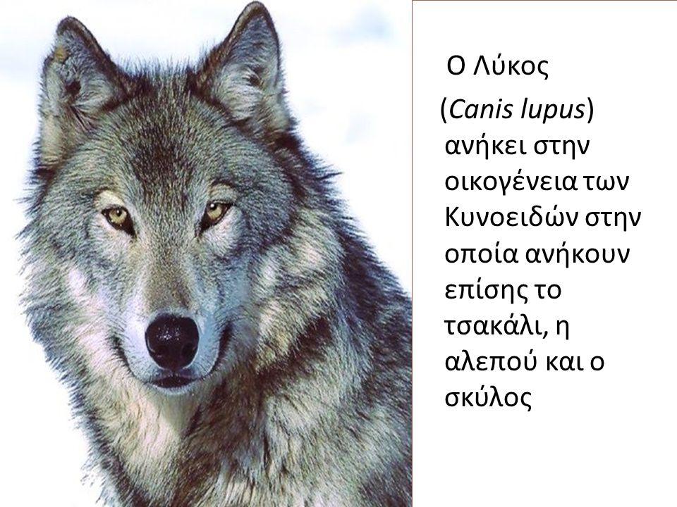 Ο Λύκος (Canis lupus) ανήκει στην οικογένεια των Κυνοειδών στην οποία ανήκουν επίσης το τσακάλι, η αλεπού και ο σκύλος