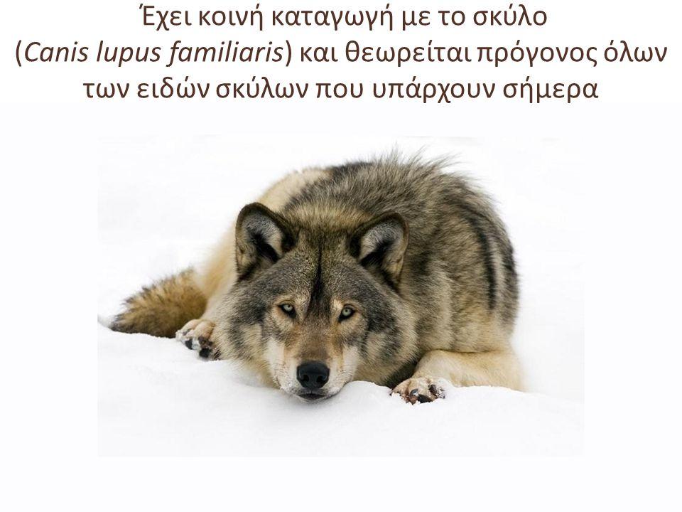 Έχει κοινή καταγωγή με το σκύλο (Canis lupus familiaris) και θεωρείται πρόγονος όλων των ειδών σκύλων που υπάρχουν σήμερα