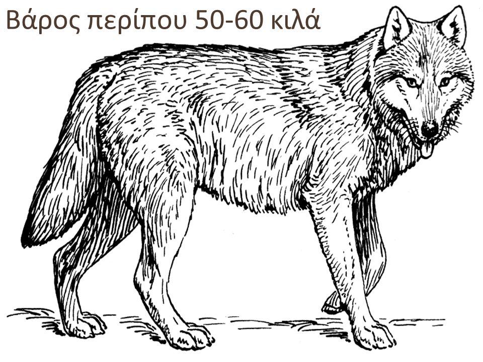Ο λύκος εξαφανίστηκε από την Πελοπόννησο στο τέλος της δεκαετίας του '30 Στην Ελλάδα σήμερα υπολογίζεται ότι ζουν 700 λύκοι σε όλο σχεδόν το ηπειρωτικό ανάγλυφο της χώρας, βόρεια της Βοιωτίας
