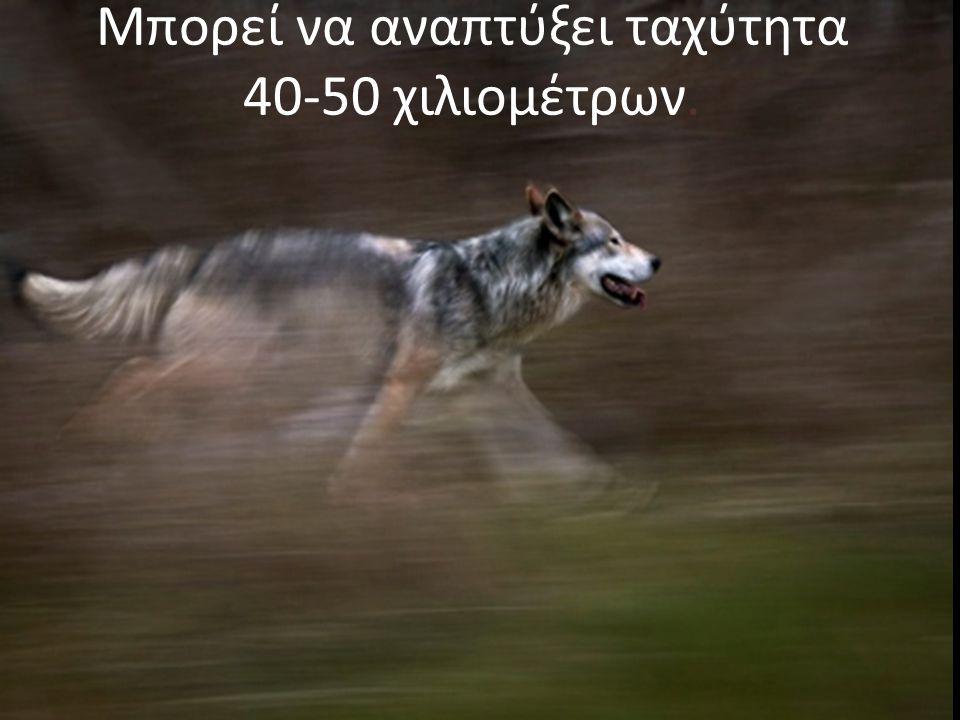 Ο «γκρίζος λύκος» είναι γκρίζος αλλά και κόκκινος, καφέ, μαύρος ή…
