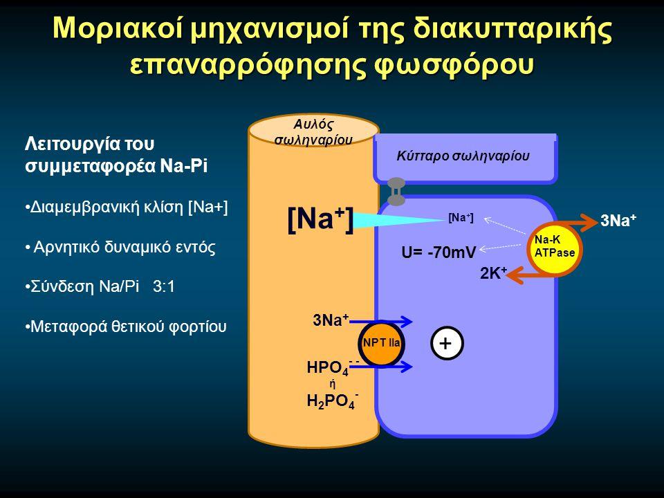 Μοριακοί μηχανισμοί της διακυτταρικής επαναρρόφησης φωσφόρου Αυλός σωληναρίου Κύτταρο σωληναρίου Na-K ATPase 3Na + 2Κ + NPT IIa 3Na + HPO 4 - - ή H 2 PO 4 - Λειτουργία του συμμεταφορέα Na-Pi Διαμεμβρανική κλίση [Na+] Αρνητικό δυναμικό εντός Σύνδεση Na/Pi 3:1 Μεταφορά θετικού φορτίου [Na + ] U= -70mV +