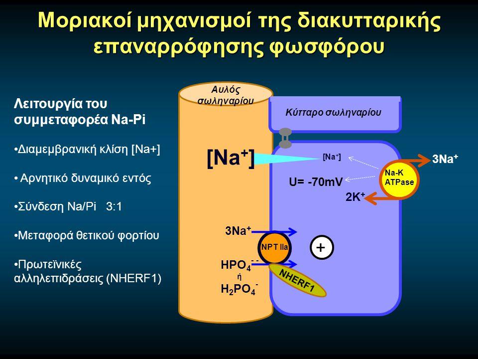 Μοριακοί μηχανισμοί της διακυτταρικής επαναρρόφησης φωσφόρου Αυλός σωληναρίου Κύτταρο σωληναρίου Na-K ATPase 3Na + 2Κ + NPT IIa 3Na + HPO 4 - - ή H 2 PO 4 - Λειτουργία του συμμεταφορέα Na-Pi Διαμεμβρανική κλίση [Na+] Αρνητικό δυναμικό εντός Σύνδεση Na/Pi 3:1 Μεταφορά θετικού φορτίου Πρωτεϊνικές αλληλεπιδράσεις (NHERF1) [Na + ] U= -70mV + NHERF1
