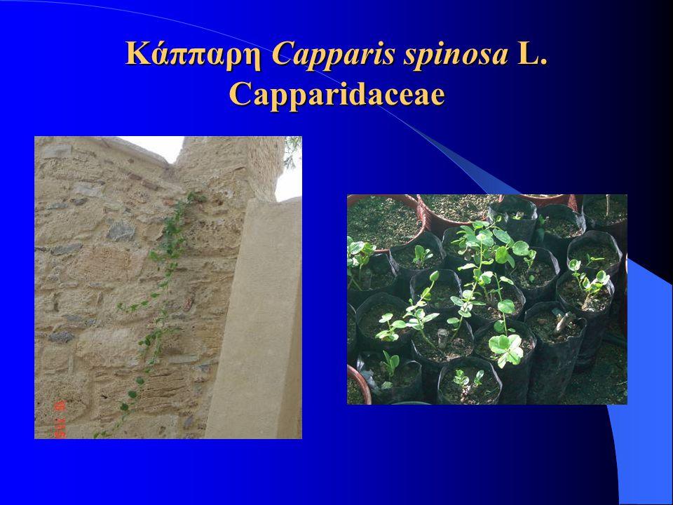 Κάππαρη Capparis spinosa L. Capparidaceae