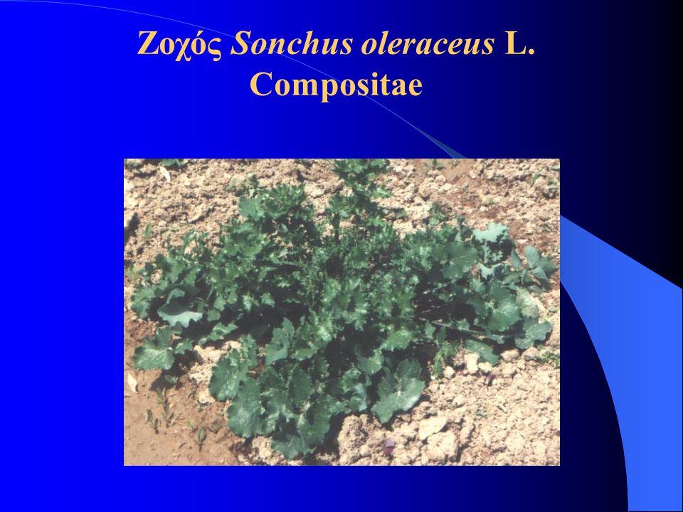 Ζοχός Sonchus oleraceus L. Compositae