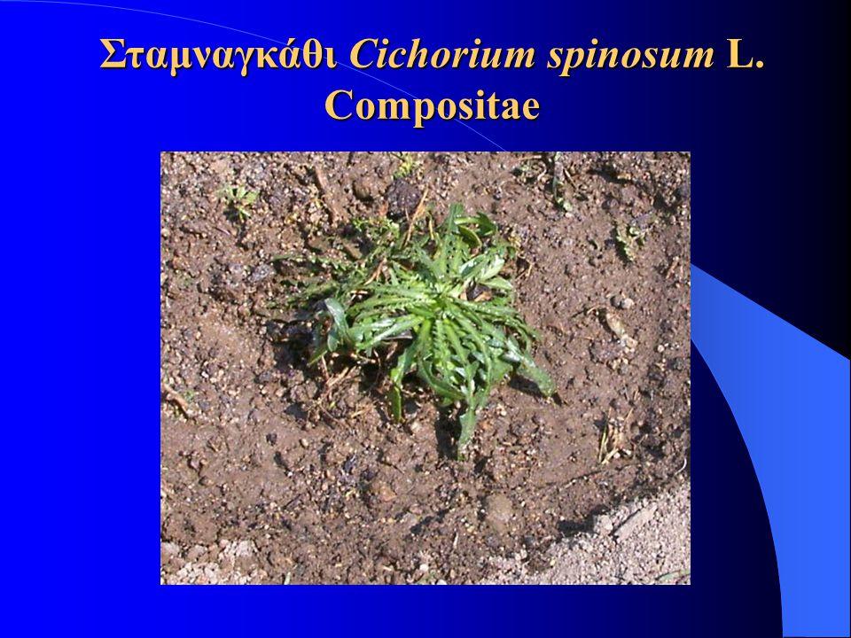 Σταμναγκάθι Cichorium spinosum L. Compositae