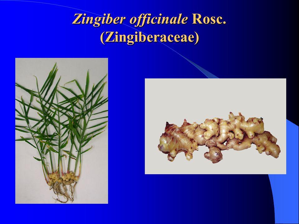 Zingiber officinale Rosc. (Zingiberaceae)