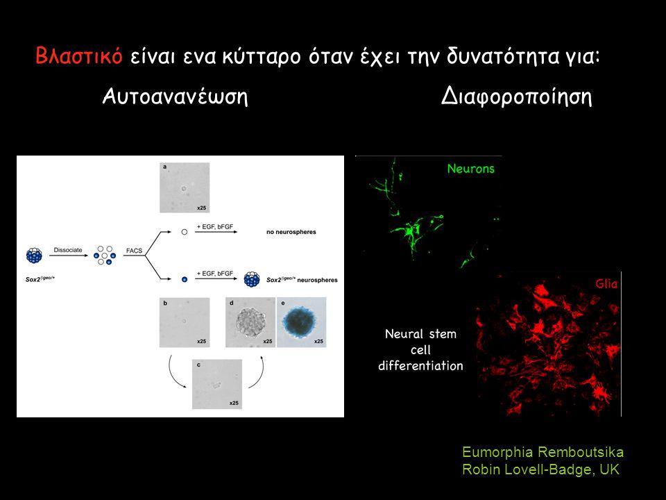 Βλαστικό είναι ενα κύτταρο όταν έχει την δυνατότητα για: Αυτοανανέωση Διαφοροποίηση Eumorphia Remboutsika Robin Lovell-Badge, UK