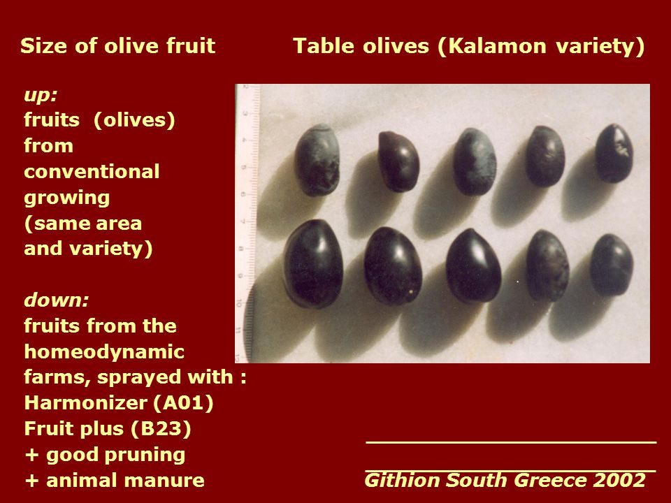 Size of olive fruit Table olives (Kalamon variety) up: fruits (olives) from conventional growing (same area and variety) down: fruits from the homeodynamic farms, sprayed with : Harmonizer (A01) Fruit plus (B23) + good pruning + animal manure Githion South Greece 2002