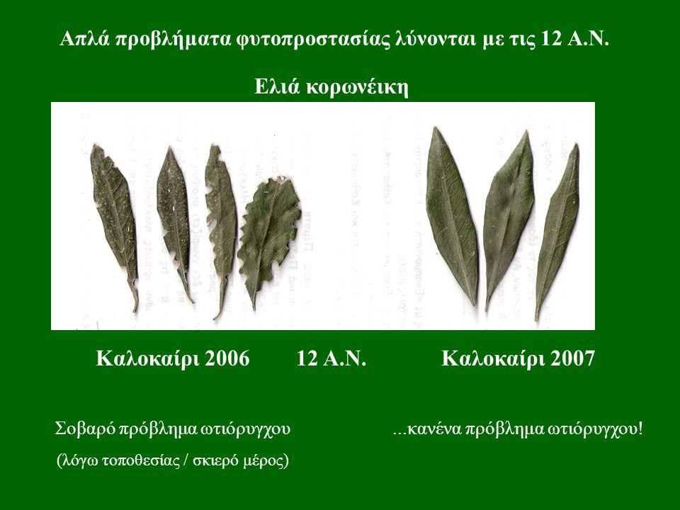 Απλά προβλήματα φυτοπροστασίας λύνονται με τις 12 Α.Ν. Ελιά κορωνέικη Καλοκαίρι 2006 Σοβαρό πρόβλημα ωτιόρυγχου (λόγω τοποθεσίας / σκιερό μέρος) Καλοκ