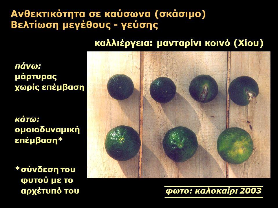Ανθεκτικότητα σε καύσωνα (σκάσιμο) Βελτίωση μεγέθους - γεύσης καλλιέργεια: μανταρίνι κοινό (Χίου) πάνω: μάρτυρας χωρίς επέμβαση κάτω: ομοιοδυναμική επ