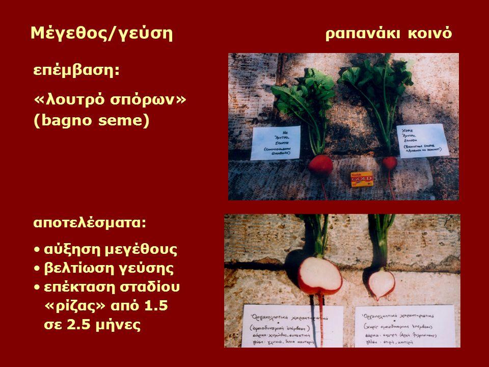 Μέγεθος/γεύση ραπανάκι κοινό επέμβαση: «λουτρό σπόρων» (bagno seme) αποτελέσματα: αύξηση μεγέθους βελτίωση γεύσης επέκταση σταδίου «ρίζας» από 1.5 σε