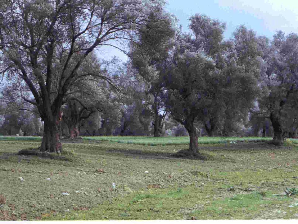 Μνημειακά Ελαιόδεντρα «Ανάγκη για προστασία και αξιοποίηση» Μέσα στα εκατομμύρια ελαιόδεντρα που υπάρχουν στους απέραντους ελαιώνες του ελλαδικού χώρου, υπάρχουν κάποια που αποτελούν μνημεία της φύσης και της ιστορίας, μνημεία που δίνουν το στίγμα του λαού μας.
