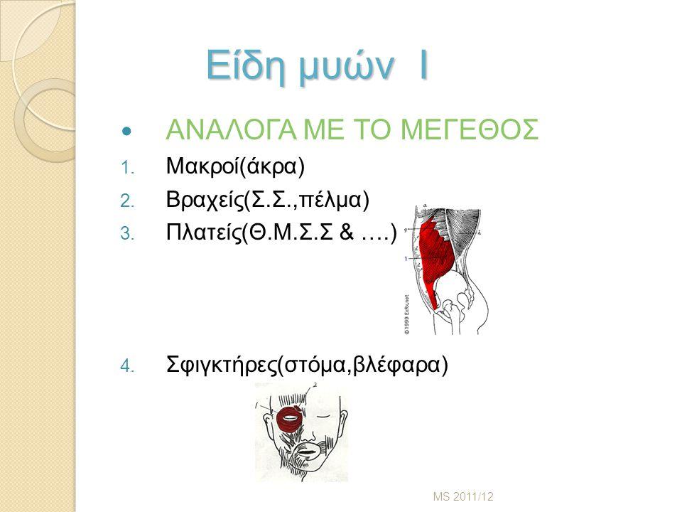 Είδη μυών Ι Είδη μυών Ι ΑΝΑΛΟΓΑ ΜΕ ΤΟ ΜΕΓΕΘΟΣ 1.Μακροί(άκρα) 2.