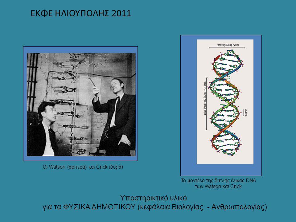 ΕΚΦΕ ΗΛΙΟΥΠΟΛΗΣ 2011 Οι Watson (αριτερά) και Crick (δεξιά) Το μοντέλο της διπλής έλικας DNA των Watson και Crick Υποστηρικτικό υλικό για τα ΦΥΣΙΚΑ ΔΗΜ