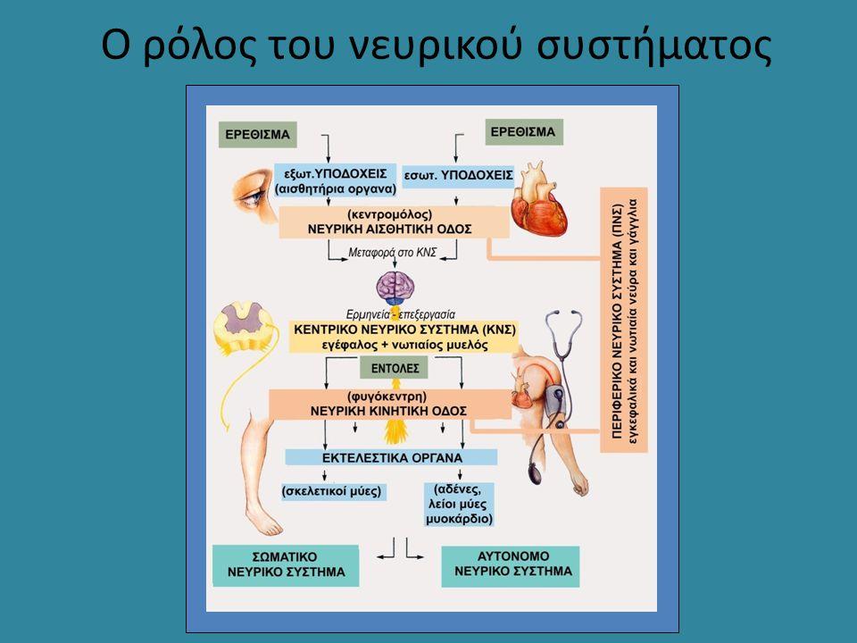 Ο ρόλος του νευρικού συστήματος