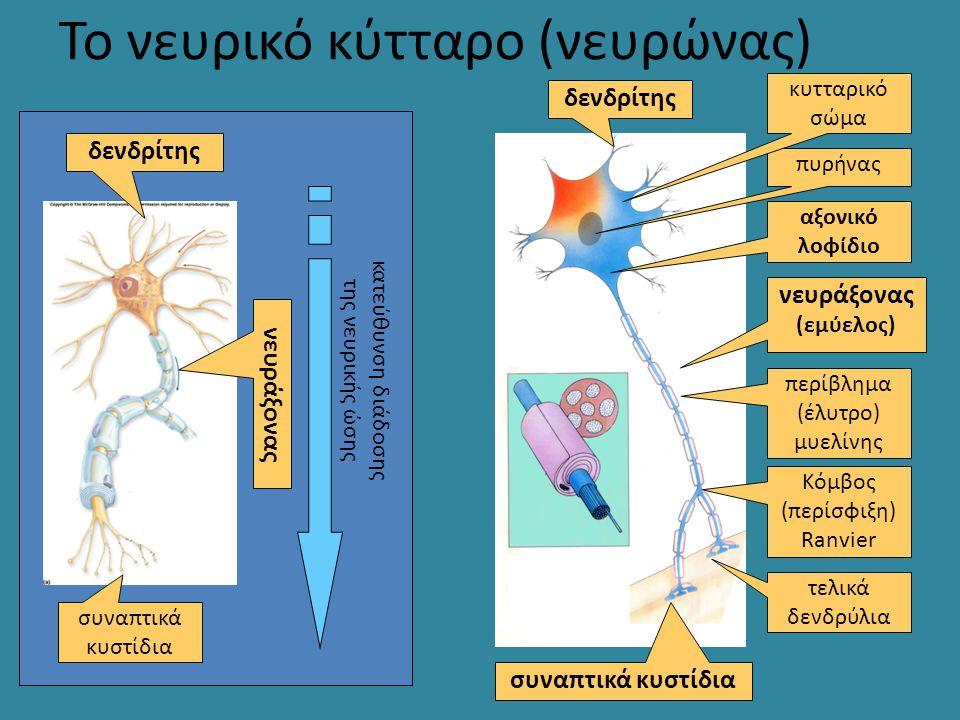 Το νευρικό κύτταρο (νευρώνας) αξονικό λοφίδιο πυρήνας δενδρίτης κυτταρικό σώμα νευράξονας (εμύελος) περίβλημα (έλυτρο) μυελίνης Κόμβος (περίσφιξη) Ran