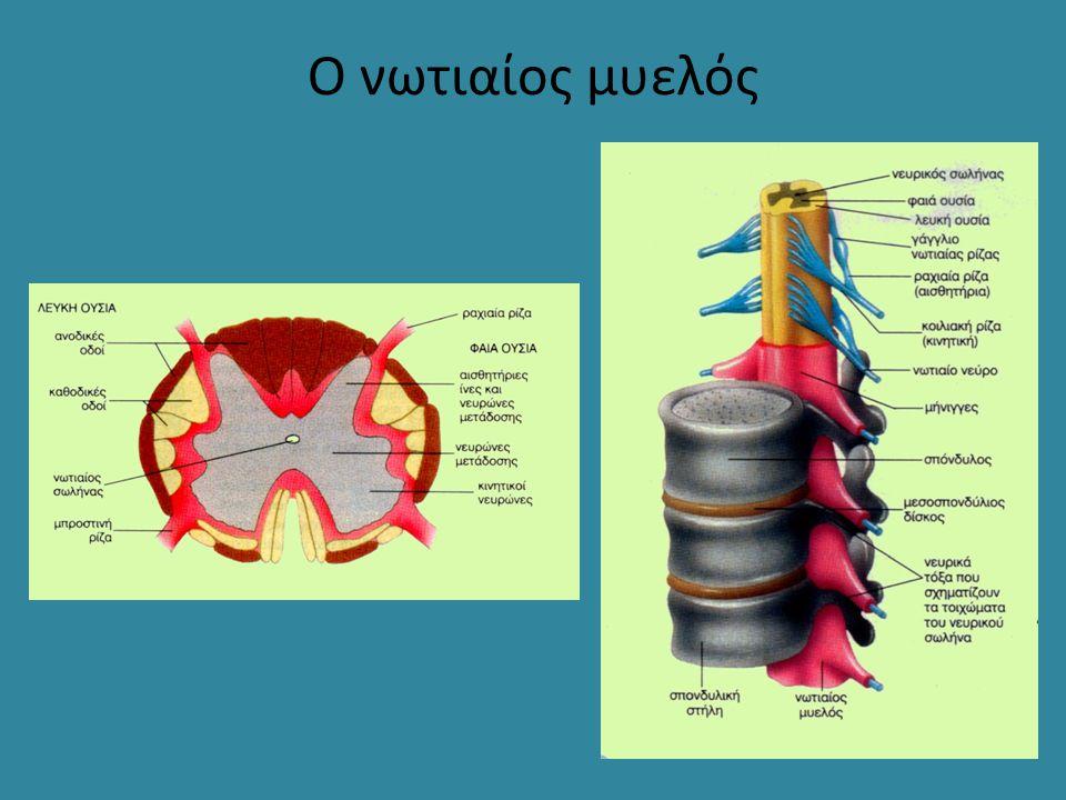 Ο νωτιαίος μυελός