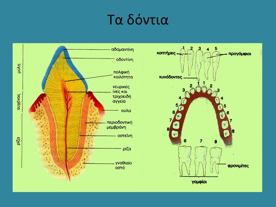Τα δόντια